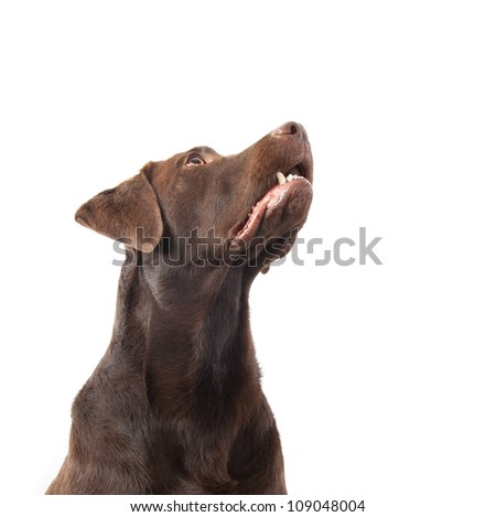 A brown labrador looking up against a white background - stock photo