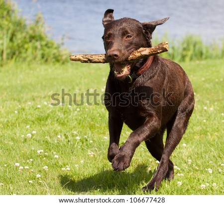 A Brown labrador running with a stick in its mouth in a grass field - stock photo