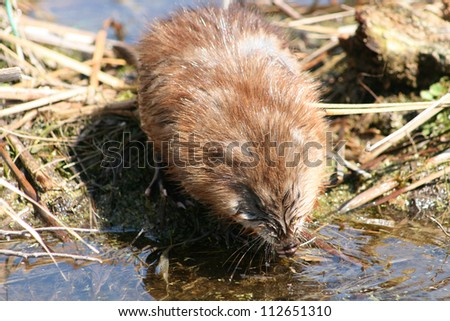 A brown muskrat standing on a bed of reeds drinking water from a marsh in spring in Winnipeg, Manitoba, Canada