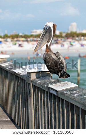 A brown Pelican bird posing on the railing of the public pier in Clearwater Florida. - stock photo