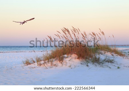 A Brown Pelican Flies Over a White Sand Florida Beach at Sunrise - stock photo