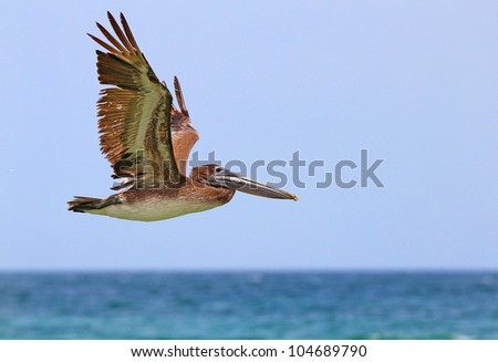 A brown pelican in flight - stock photo