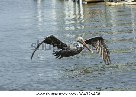 A brown pelican in flight at see in Cape Coral. Florida - stock photo