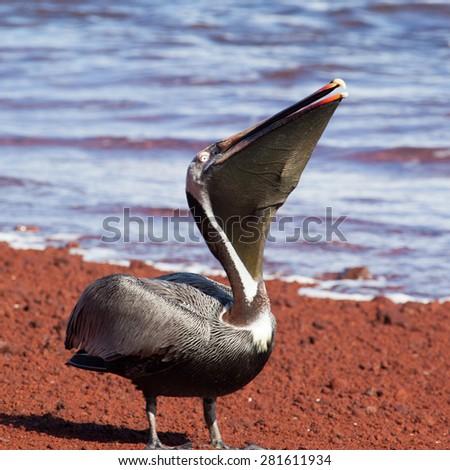 A brown pelican (Pelecanus occidentalis) swallowing  fish at Galapagos Islands, Ecuador, Pacific, South America   - stock photo
