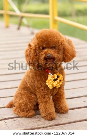 A brown poodle, in the park - stock photo