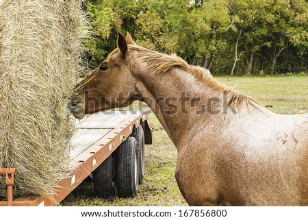 A brown quarter horse eating hay from a round bale sitting on top of a trailer. - stock photo