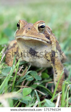 A brown spotted toad in the grass