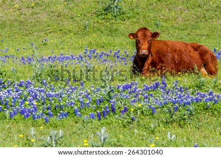 A Brown Texas Cow in a Field Blanketed with the Famous Texas Bluebonnet (Lupinus texensis) Wildflowers. - stock photo