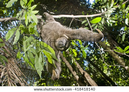 A Brown-throated sloth hangs head down from a tree. - stock photo