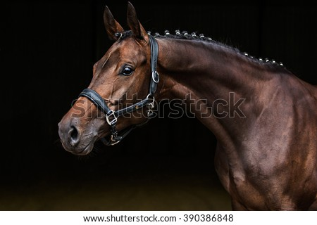 A brown trakehner horse in a beautiful pose showing its long neck.