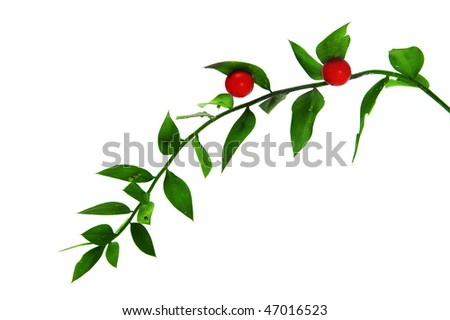 a brunch of ruscus aculeatus isolated on a white background