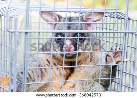 A brushtail possum is caught in a cage as a trap in Melbourne, Victoria, Australia