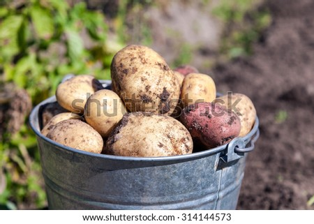 A bucket of potatoes new harvesting in the garden closeup