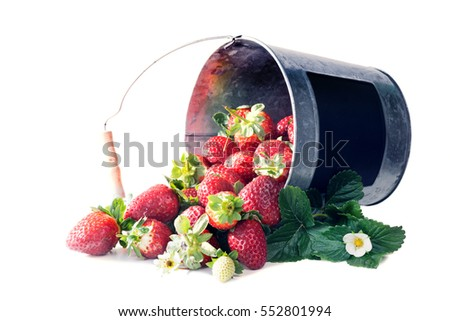 A bucket of ripe strawberries spilling. Isolated on white background