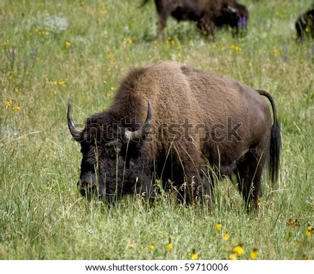 A buffalo as Custer State Park in South Dakota. - stock photo