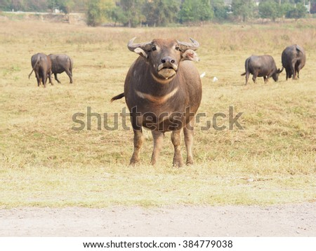 a Buffalo looking for it's calf  the field, Thailand - stock photo