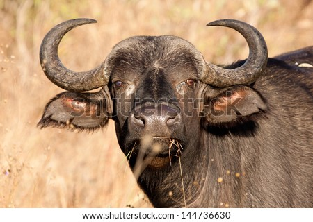 A buffalo with one blind eye staring