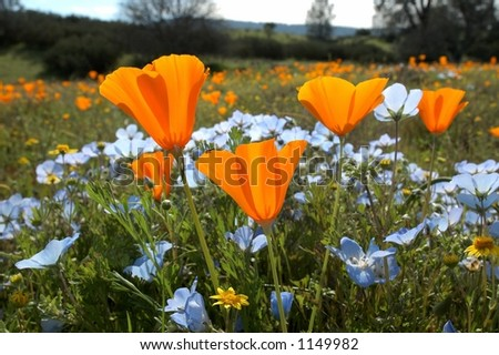 "A ""bug's eye view"" of a field of California spring wildflowers. Taken from the ground looking up...a beautiful way to see!"