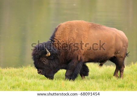 A bull bison walks along the bank of the Yellowstone River, Yellowstone National Park. - stock photo
