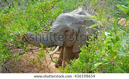 A bull elephant in Kruger National Park in South Africa/An Elephant