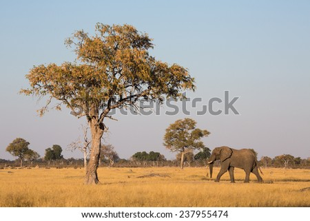 A bull elephant, Loxodonta africana, walking across a flat  yellow landscape under a clear sky in Hwange National Park, Zimbabwe, accentuates the size of a large blooming tree. - stock photo