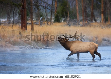 A bull elk bugling and walking through the Madison River on a cold fall morning, Yellowstone National Park. - stock photo
