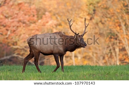A bull elk in early morning light with autumn colors in background.Elk County,Pennsylvania,USA.