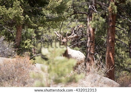 A bull elk that was previously hiding looks up and over a tree at photographer
