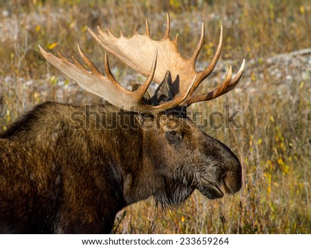 a bull moose shows off his antlers - stock photo