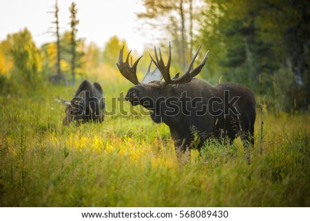 A bull moose sniffs the air for pheromones during the autumn rut in Grand Teton National Park, Wyoming.