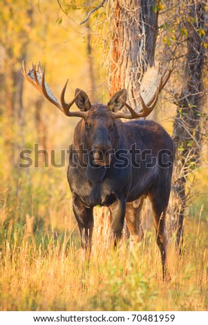A bull moose stands among fall colors near the Gros Ventre River, Grand Teton National Park.
