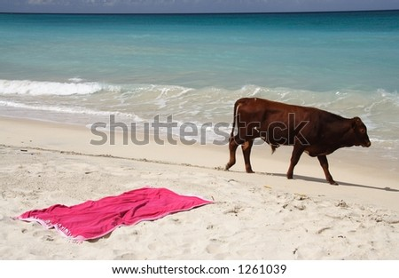 A bull on a caribbean beach with a pink towel in the sand - stock photo