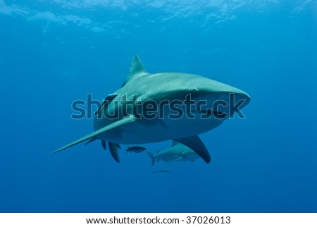 A Bull Shark at Pinnacles in Mozambique - stock photo