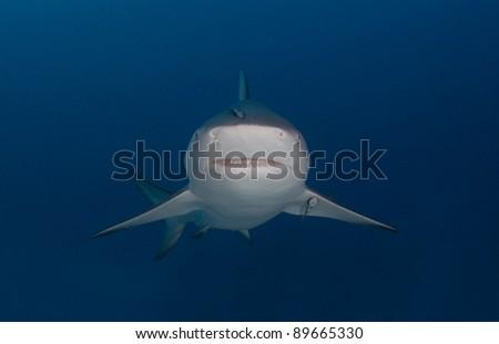 a bull shark looks straight at the camera - stock photo