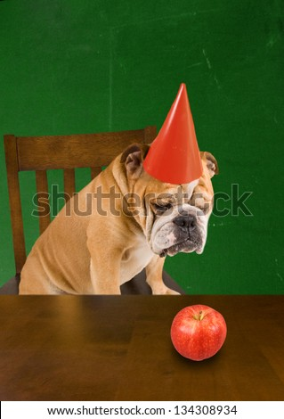 a bulldog with a dunce hat on - stock photo