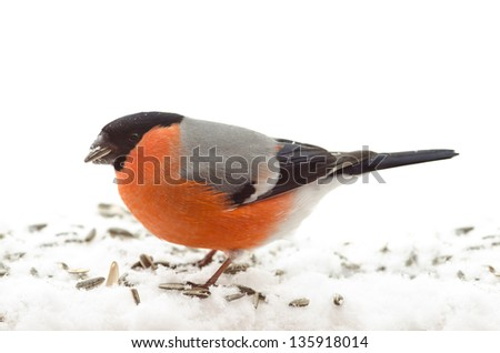 A Bullfinch eating sunflower seeds isolated on white background - stock photo