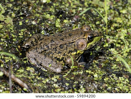 A bullfrog sitting on a log in a swamp.