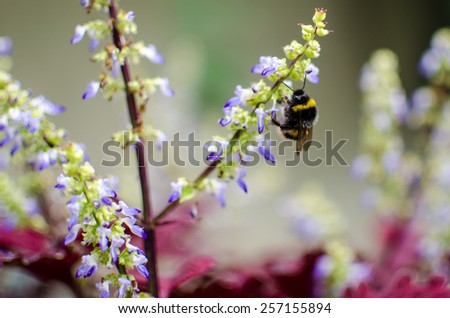 A bumble bee collecting pollen from these autumn blue flowers. - stock photo