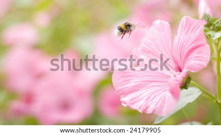 A bumble-bee collects pollen on flowers (shallow dof) - stock photo