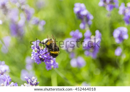 a bumble bee drinking nectar