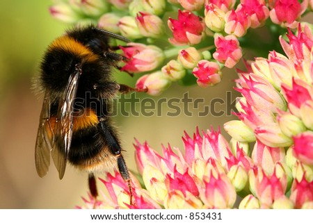 A bumble bee on a sedum flowerhead. - stock photo