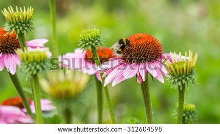 A bumble bee on pink daisy flower - stock photo
