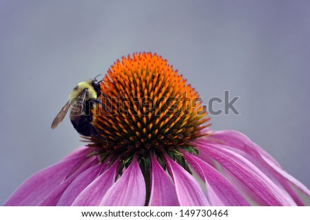 A bumble bee pollinating a pretty magenta flower - stock photo