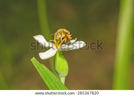 A bumblebee nectar feeder on a white flower - stock photo