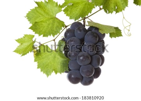 A bunch of black grapes dangling from a twig. - stock photo