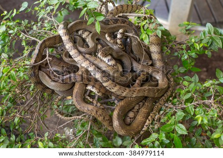 A bunch of brown snakes on a tree