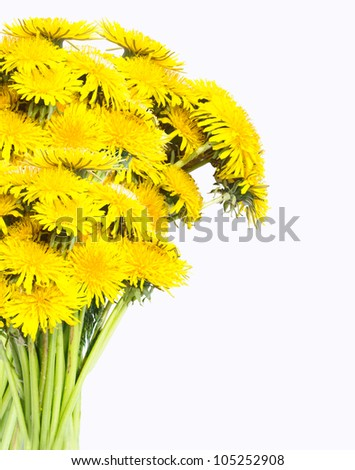 A bunch of dandelion flower isolated on a white background. - stock photo