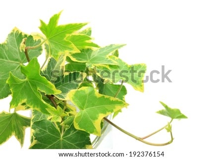 A bunch of green ivy with a yellow border. - stock photo
