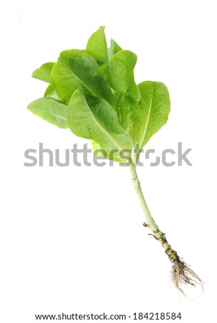 a bunch of organic lettuce isolated on white  - stock photo