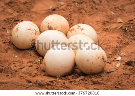 A bunch of ostrich eggs lying in the sand.